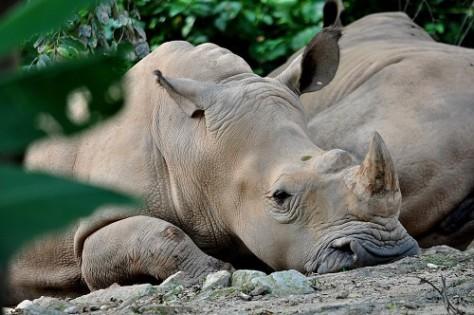 malaysian rhino died