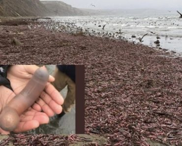 Thousands of 'Penis Fish' appeared on the Beach